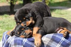 Rottweiler Wrestle Mania... Find more #puppies to pin by clicking on this #Rottie #dog picture