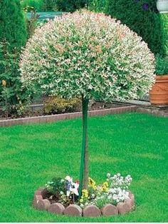 Wierzba japońska na pniu- Salix integra Hakuro-Nishiki Garden Spaces, Garden Plants, Dream Garden, Home And Garden, Flowers, Gardening, Outdoors, Humor, Gardens