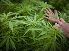 Según el estudio, las plantas de cáñamo mostraron un alto número de diferencias genéticas respecto a la marihuana, sobre todo debido al cultivo de ambas plantas para usos radicalmente diferentes