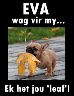 Afrikaans, Funny Sayings, French Bulldog, Lol, Humor, Words, Animals, Funny Proverbs, Animales