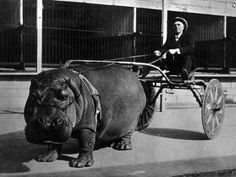 "Hippo cart. California, 1924  {""Lotus, a circus hippopotamus enjoying winter quarters in California, was taught to haul a two-wheeled cart. A V-shaped tongue attached to a broad band around the creature's back made traces unnecessary. A bridle of strong leather with the reins attached to the jaws completed the harness, and aided in directing the 'river horse' which seemed to enjoy its 'stunt' as it walked to its pool and back.""}    [:"
