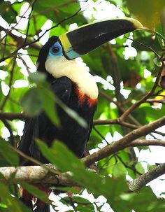 Tucan Ecuador amazon rainforest by Flickr User: Dean Jacobs 1 beautiful world