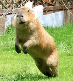 Capybara, related to GUINEA PIGS :D
