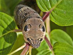 Elephant hawk moth larva by kaysare, via Flickr. We used to breed these when I was a child. ;)