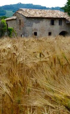 Italy wheat field taken by Doug Peters Wheat Fields, Natural World, Italy, Nature, School, Italia, Naturaleza, Nature Illustration, Off Grid
