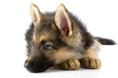 German Shepherd Dog - Raising & Training German Shepherd Puppies, German Shepherds Info: How to Train German Shepherd Dogs #germanshepherd