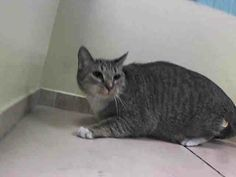 SAFE! TO BE DESTROYED 4/3/14 Brooklyn Center My name is GRACE. My Animal ID # is A0994705. I am a spayed female brn tabby and white domestic sh mix. The shelter thinks I am about 3.  OWNER SUR on 03/23/2014 from NY 11226, https://www.facebook.com/nycurgentcats/photos/a.767227869961869.1073742259.220724831278845/767227936628529/?type=3&src=https%3A%2F%2Ffbcdn-sphotos-a-a.akamaihd.net%2Fhphotos-ak-prn1%2Ft1.0-9%2F10176121_767227936628529_1356048058_n.jpg&size=640%2C480&fbid=767227936628529