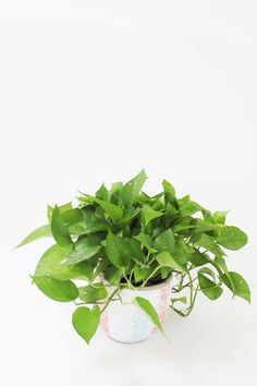 Green your Indoor spaces with Money Plants! They're one of the easiest plants to grow Indoors. Send us your purchasing queries for Money Plants by mailing us at info@uniflora.ae or call us on  04-321-6545 for queries #Uniflora #Indoor #Plants #Home #Decor #Dubai #UAE