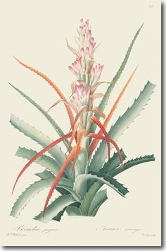 Bromelia Pinguin, from our Book Illustration Collection Vintage Botanical Prints, Botanical Drawings, Botanical Illustration, Joseph, Impressions Botaniques, Skyline Art, Guys And Girls, Hand Coloring, Cactus Plants