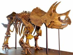 Triceratops prorsus au Los Angeles County Natural History Museum, CA, USA. Photo : Allie Caulfield