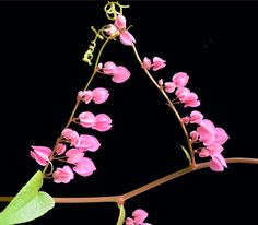 Cadena de amor, Antigonon leptopus, coral vine : Philippine Medicinal Herbs / Philippine Alternative Medicine Coral, Medicinal Plants, Herbal Medicine, Botany, Vines, Herbalism, Filipino, Jewelry, Google