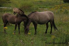 Paarden, AnimalPhotography, Knuf! natuurgebied Meinerswijk in Arnhem juli 2015