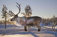 Reindeer sledding, Jukkasjärvi, Swedish Lapland | | Lapland's Image Bank, pictures on bears, wolfes, lynx, wolverine, foxes and birds