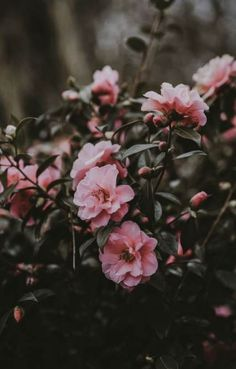 Flowers Pink Winter Flowers ~ flowers pinkflowers winterflowers is part of Flowers photography wallpaper - Tumblr Wallpaper, Tumblr Backgrounds, Nature Wallpaper, Wallpaper Backgrounds, Trendy Wallpaper, Exotic Flowers, Amazing Flowers, Pink Flowers, Paper Flowers