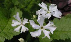 Pierwiosnek - zwiastun wiosny (rośliny do cienia)