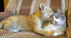 Liger cub and a cat :D