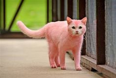 Found. One PINK cat! Seems the owner dyed it to match her new hair color.