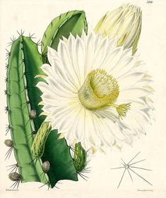 Walter Hood Fitch Prints from Curtis Botanical Magazine