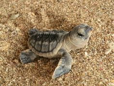 Cute little baby sea turtle on Venice Beach, Florida.  Sea Turtle season on the Gulf Coast is May through October.