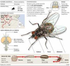 anatomia interna mosca - Buscar con Google