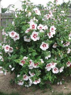 planting rose of sharon_mini