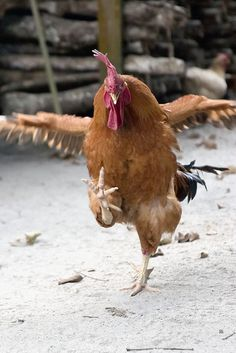 The famed chicken dance!