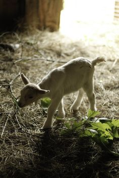 baby goat @ Oyster River Winery and Farm