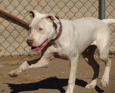 Meet A JAKE great Handsome white beauty, a Petfinder adoptable Dogo Argentino Dog | Toluca Lake, CA | JAKE IS A STUNNING & SUPER SWEET, SMART AND GREAT DOG!! He is our trainers favorite. He listens,...