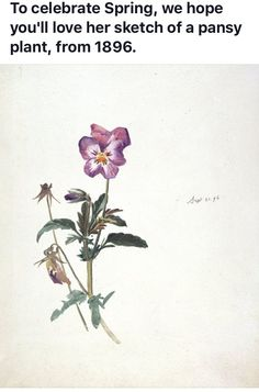 Botanical illustrations - Beatrix Potter, Pansy, 21 September © Frederick Warne & Co Botanical Flowers, Botanical Prints, Pansy Tattoo, Beatrix Potter Illustrations, Botanical Drawings, Flower Drawings, Victoria And Albert, Pansies, Illustrators