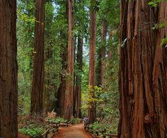 The Redwood Forest in California.one of the places I can't believe I haven't seen. So close it's just silly Muir Woods National Monument, National Forest, Oh The Places You'll Go, Places To Travel, Redwood Forest, California National Parks, Natural Wonders, Beautiful Places, Amazing Places