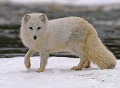 arctic fox endangered species
