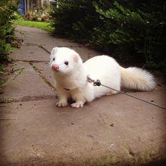 Funny Animal Memes, Cute Funny Animals, Cute Baby Animals, White Ferret, Pet Ferret, Cute Ferrets, Dou Dou, Animal Photography, Animals Beautiful