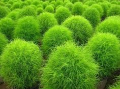 New Kochia Scoparia Grass, Showy & Easy To Grow...