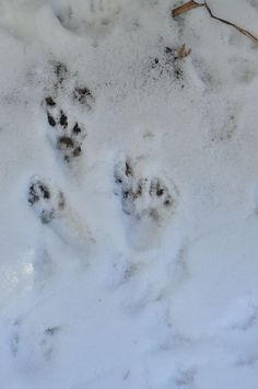 Animal Tracks in the Snow!