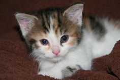 Callie at 6 weeks Cats, Animals, Gatos, Animales, Animaux, Kitty, Cat, Cats And Kittens, Animal