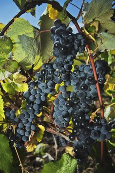 MOLDOVA Explore rich traditions of growing grapes and wine production in Macedonia! There are 142 wineries, of which 23 have experience and facilities to receive visitors! Poor Moldova! #Moldova #Wine