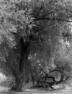 Old Willow Tree on Elk River, Elk Rapids, MI