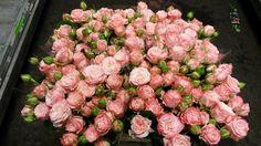 #Rose #Sprayrose #MadamBombastic; Available at www.barendsen.nl
