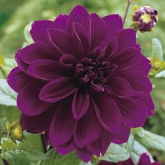 "This purple, Dinnerplate Dahlia'Thomas Edison' has an impressive blooms up to 8"" with strong stems."