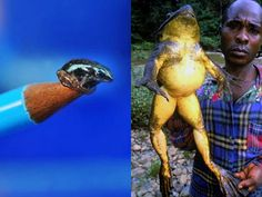 Two frogs that are almost extinct... Have you ever seen a frog that big? 0.o