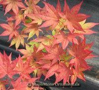 Acer palmatum 'Omato' - Japanese Maples › Palmatum | Maplestone Ornamentals Acer Rubrum, Acer Palmatum, Japanese Maple Varieties, Acer Trees, Maple Tree, Trees And Shrubs, Garden Plants, Bonsai, Garden Landscaping
