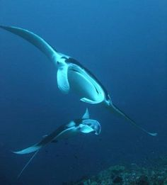 Manta rays - described as 'pandas of the sea' - are under threat on two fronts, marine scientists say: getting snared as 'bycatch' in tuna nets and because of their use in traditional Chinese medicine. (via NBC News)
