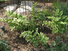 Shade plant - Polygonatum odoratum (Variegated Solomon's Seal) Hummingbirds love these small hanging flowers!