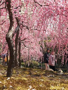 UME in full bloom ~ Weeping Japanese apricot trees ~ by k n u l p, via Flickr
