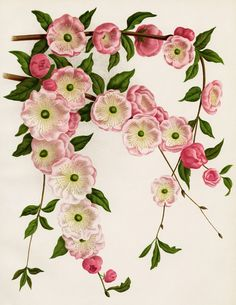 Vintage Botanical Flower Illustration