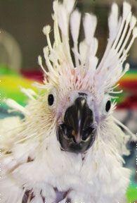Baby Umbrella Cockatoo Funniest thing I've seen on Pinterest!!!