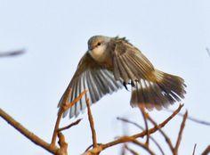 Chapada Flycatcher = Campo-Suiriri, Suiriri Flycatcher (Suiriri affinis)
