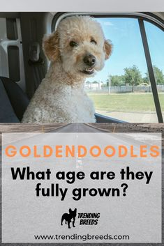 Goldendoodles come in a variety of sizes. How big they get largely depends on the kind of Poodle is used during breeding. When are they fully grown, though?