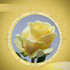 Butterscotch from our yellow category will lighten your spaces and bring calm to your environment. Visit www. Organic Roses, Honeydew, Environment, Calm, Spaces, Fruit, Yellow, Food, Honeydew Melon