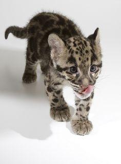 I want a bengal cat soooo bad!